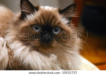 long haired, blue eyed, Seal point himalayan cat looking a little scared - stock photo