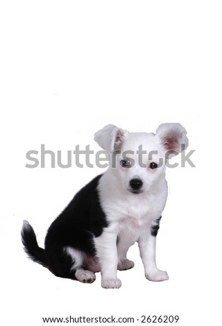 Long-haired Chihuahua - stock photo