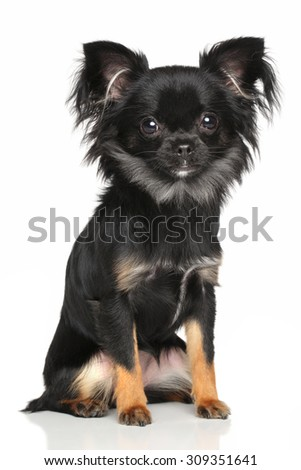 Long-Haired Chihuahua dog sits in front of white background - stock photo