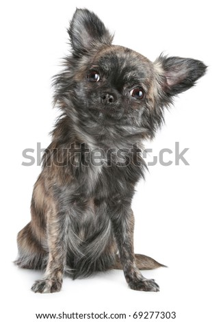 Long-haired chihuahua dog sitting on a white background - stock photo