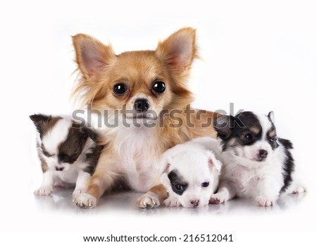 Long-haired Chihuahua hua and litter,  female and puppies - stock photo