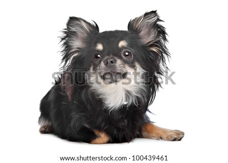 long haired chihuahua in front of a white background