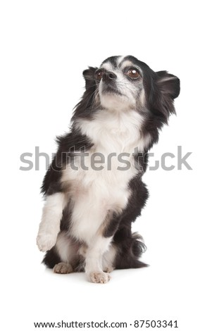 long-haired Chihuahua in front of a white background