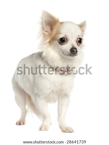 long haired chihuahua (11 months old) in front of a white background