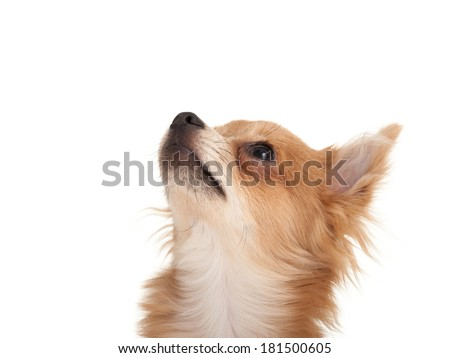 Long haired chihuahua puppy dog looking up in front of a white background - stock photo