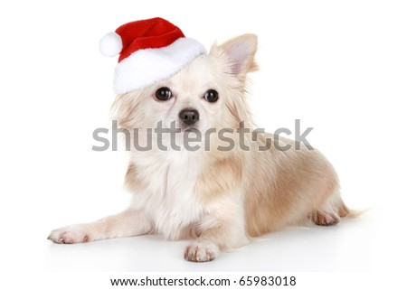 Long-haired chihuahua puppy in christmas cap on a white background - stock photo