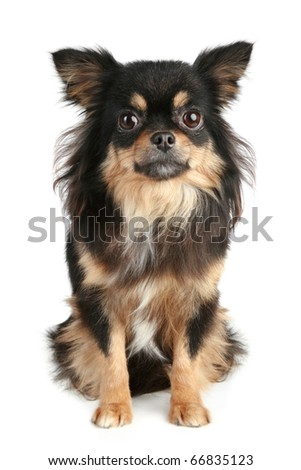 Long-haired chihuahua puppy sits on white background