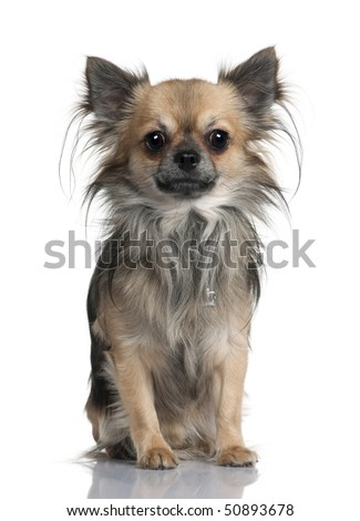 Long-haired Chihuahua, 2 years old, sitting in front of white background - stock photo
