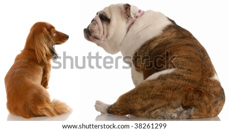 long haired dachshund and english bulldog looking at each other - stock photo