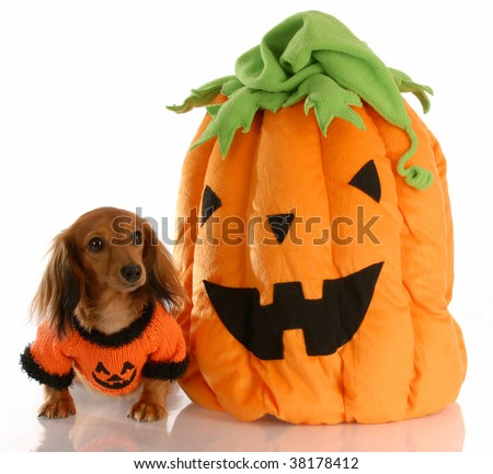 long haired dachshund dressed up with halloween pumpkin - stock photo