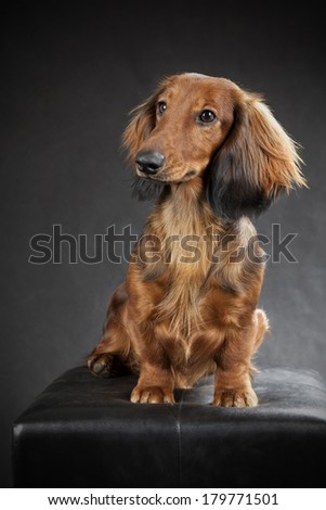 Dachshund Haired Long Miniature Sitting Stock Photos, Illustrations
