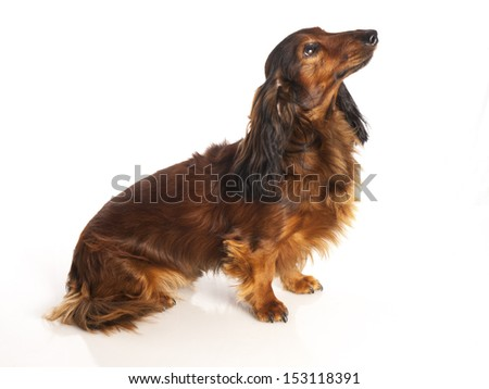 long haired dachshund on a white background - stock photo