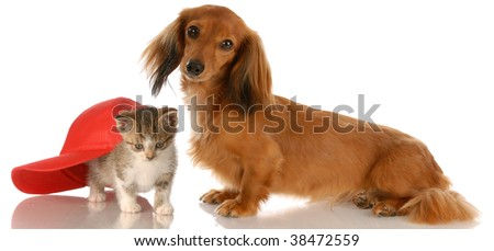 long haired dachshund sitting beside kitten hiding under baseball cap - stock photo
