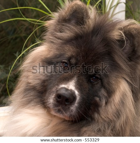 Long haired japanese Akita pedigree dog - stock photo
