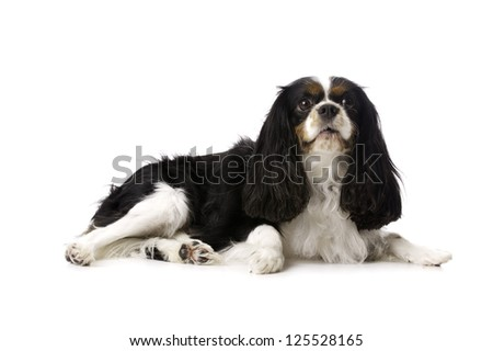 Long Haired King Charles Spaniel Dog Laid Isolated on a White Background Looking Towards the Camera - stock photo