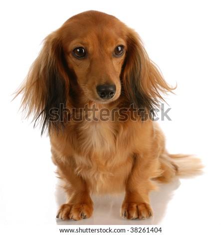 long haired miniature dachshund female sitting on white background - stock photo