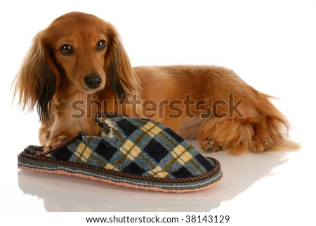 long haired miniature dachshund laying down beside chewed slipper - stock photo