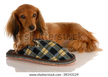 long haired miniature dachshund laying down beside chewed slipper - stock photo