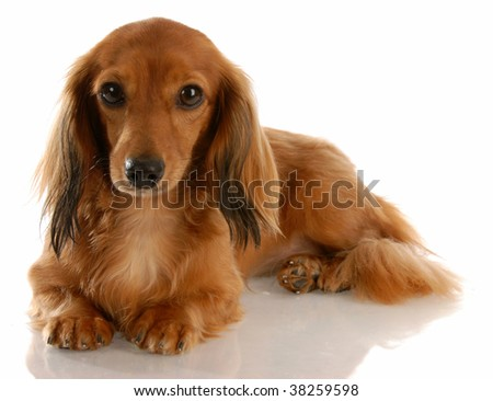 long haired miniature dachshund laying down on white background - stock photo