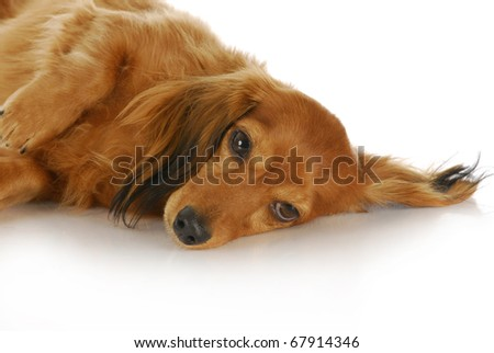 long haired miniature dachshund laying down with reflection on white background - stock photo