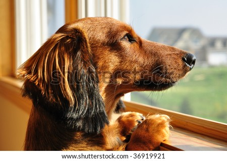 Long Haired Miniature Dachshund Looking out a Window - stock photo