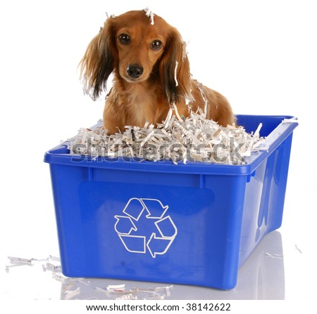 long haired miniature dachshund sitting in blue recycle bin - stock photo