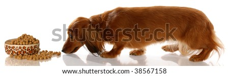 long haired miniature dachshund sneaking up to bowl of dog food - stock photo