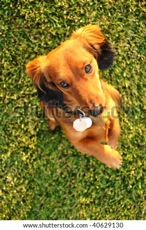 Long Haired Miniature Dachshund Standing Up Begging - stock photo