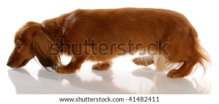 long haired miniature dachshund walking sniffing ground - stock photo