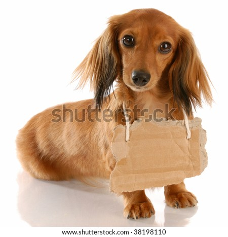long haired miniature dachshund wearing cardboard sign around neck - stock photo