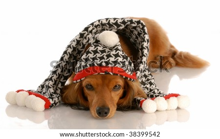 long haired miniature dachshund wearing winter hat and scarf - stock photo