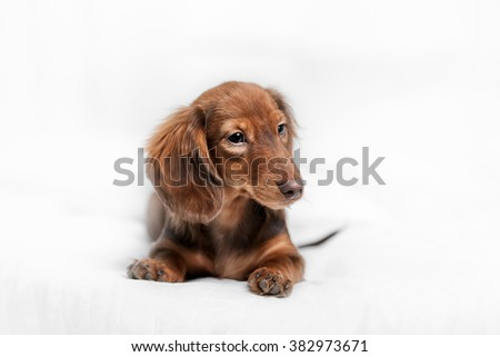 long haired miniature dachshund with back to view with reflection on white background not isolated - stock photo