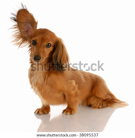 long haired miniature dachshund with one ear standing up - stock photo