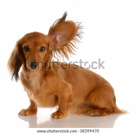long haired miniature dachshund with one ear standing up listening - stock photo