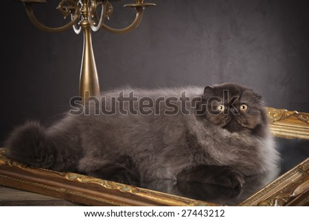 Long haired (persian) cat on the old mirror - stock photo