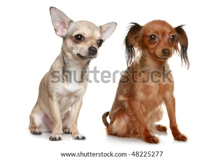 Long-haired russian terrier and chihuahua on white background