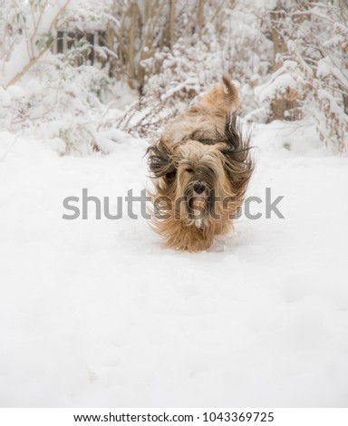 Long-haired Tibetan terrier dog running in the snow.