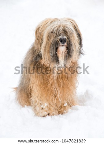Long-haired tibetan terrier sitting in the snow