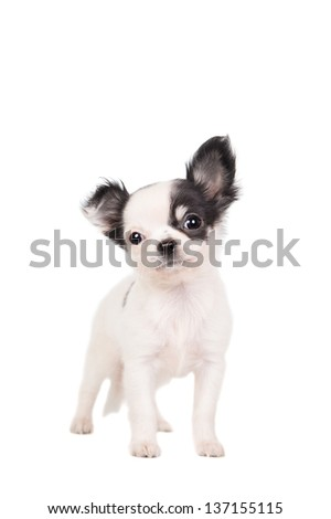 Long-haired white chihuahua dog on a white background - stock photo