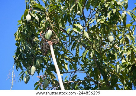 long-handled fruit picker taking mango on the tree - stock photo
