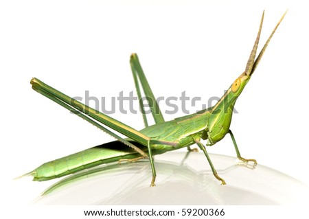 long-headed grasshopper (Acrida bicolor) isolated on glass - stock photo