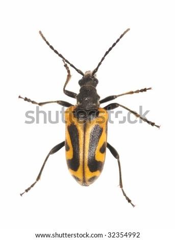 Long horn beetle (Brachyta interrogationis) isolated on white background. Extreme macro photo. - stock photo