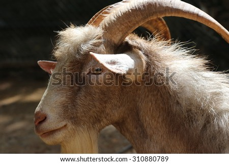 long horn goat , mountain goats on warm sunlight in winter, leader