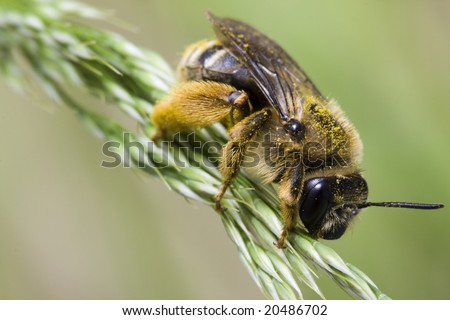 Long Horned Bee - stock photo