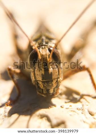 Long-horned grasshopper or cricket - stock photo
