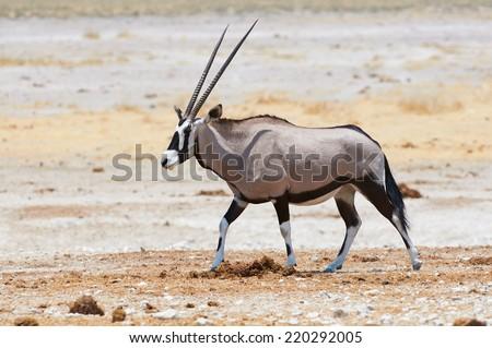 Long-horned Oryx walking in savanna under a burning sun - stock photo