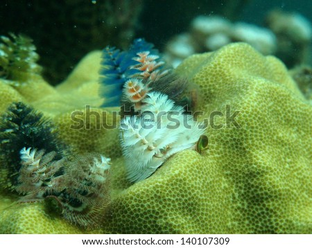 Long in the coral tree Christmas tree corals - stock photo
