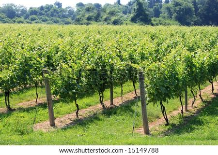 Long Island north fork vineyard on a warm haze summer day - stock photo