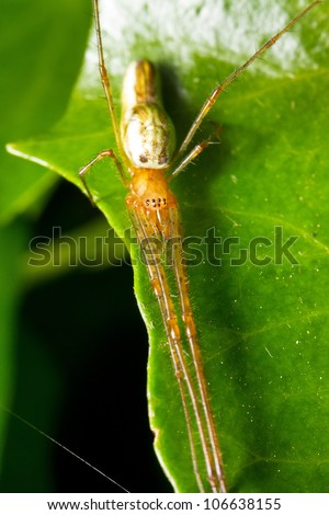 long jawed spider (family Tetragnathidae) on a leaf stretching