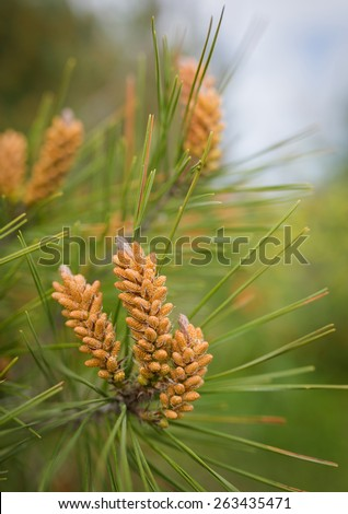 Long-leaf southern pine branches with yellow pollen-producing male cones. Close-up - stock photo